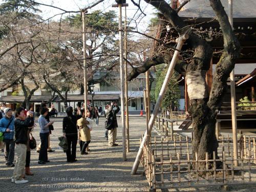13sakura-06