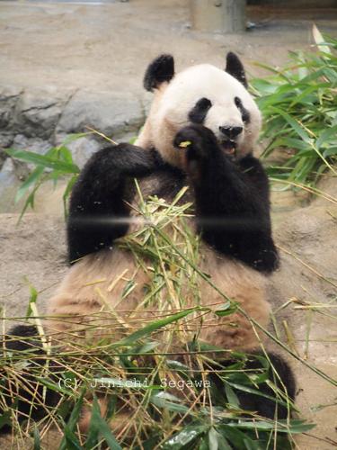 panda-08